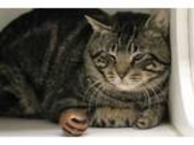 Adopt WARRIOR a Brown Tabby Domestic Shorthair / Mixed (short coat) cat in