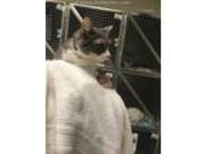 Adopt STEVE a Gray or Blue (Mostly) Domestic Shorthair / Mixed (short coat) cat