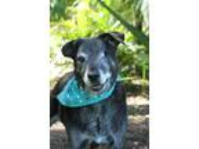 Adopt Onyx a Black - with Gray or Silver Labrador Retriever / Mixed dog in
