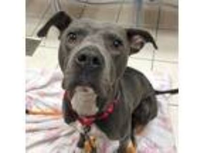 Adopt Bruce a Gray/Silver/Salt & Pepper - with White Mixed Breed (Large) / Mixed
