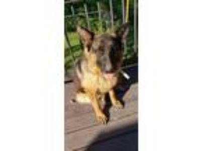 Adopt Laverne a Black - with Tan, Yellow or Fawn German Shepherd Dog / Mixed dog