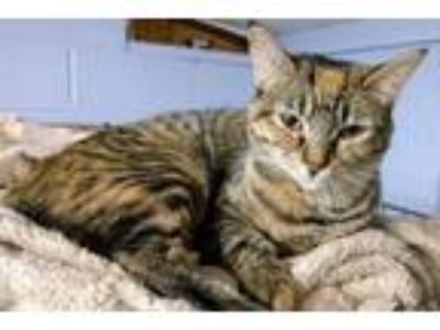 Adopt Skyla a Domestic Short Hair