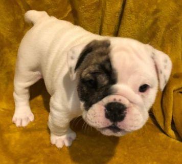 English Bulldog PUPPY FOR SALE ADN-100120 - AKC English Bulldog Puppies