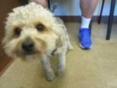Adopt Sammy a Gray/Blue/Silver/Salt & Pepper Poodle (Miniature) / Mixed dog in
