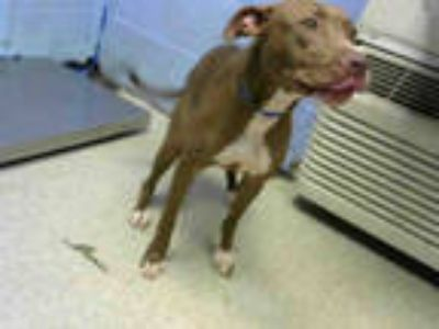 Adopt APPLE JACK a Brown/Chocolate - with White American Pit Bull Terrier /