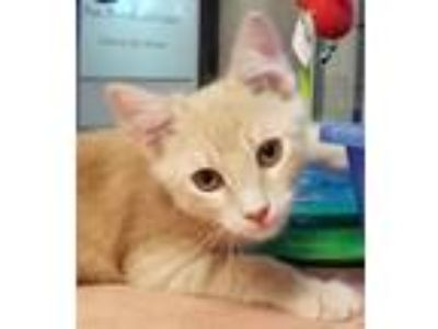 Adopt Karev a Domestic Shorthair / Mixed (short coat) cat in Irving