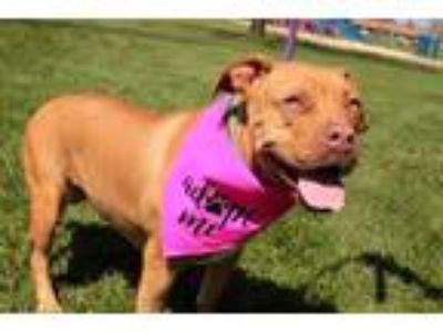 Adopt Goldie a Pit Bull Terrier