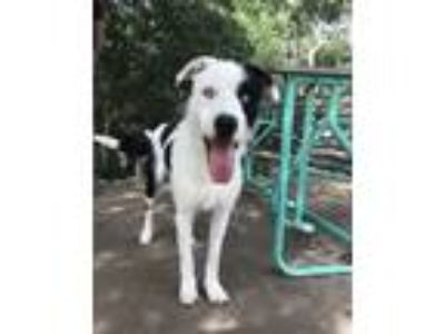 Adopt Marty a White - with Black Terrier (Unknown Type, Medium) / Border Collie