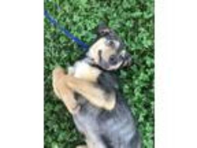 Adopt Wile E. a German Shepherd Dog