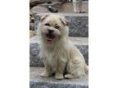 Adopt Lil' Jane in NH a Yorkshire Terrier, Cairn Terrier