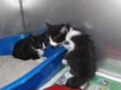 Adopt 41763545 a All Black Domestic Mediumhair / Domestic Shorthair / Mixed cat