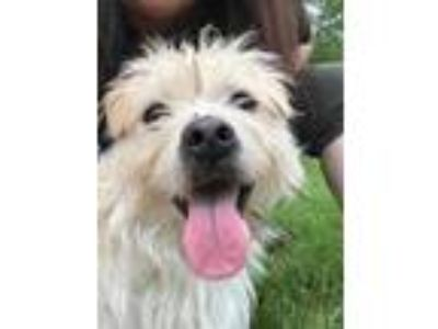 Adopt Don Giovanni a White Cairn Terrier / Mixed dog in Roselle, IL (25598924)