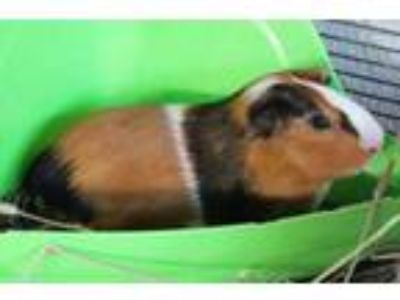 Adopt Gregory a Brown or Chocolate Guinea Pig / Mixed small animal in Honolulu