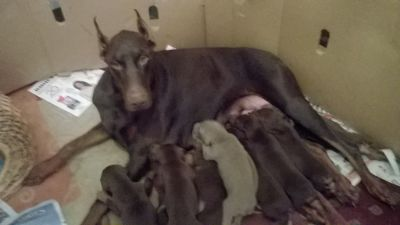 Doberman Pinscher PUPPY FOR SALE ADN-51850 - 1Fawnrust female 8 redrust