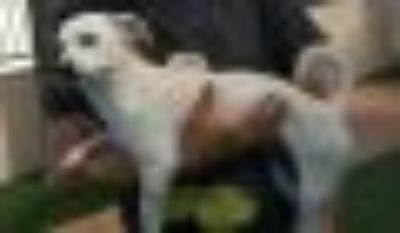Savanah and Seimore Maltese - Rat Terrier Dog