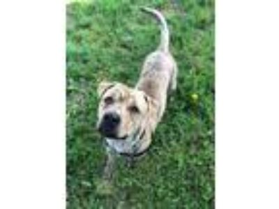 Adopt DALE a Pit Bull Terrier, Mixed Breed