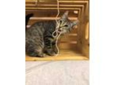 Adopt Tiger a Gray or Blue Domestic Shorthair / Domestic Shorthair / Mixed cat