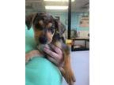 Adopt Kaa a Merle Catahoula Leopard Dog / Mixed dog in Springfield