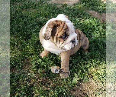 English Bulldog PUPPY FOR SALE ADN-128159 - Brindle Merle Male
