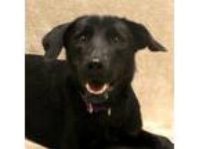 Adopt Blacky a Black Retriever (Unknown Type) / Mixed dog in Saukville