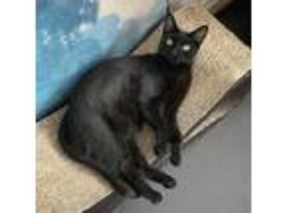 Adopt Curacao a All Black Domestic Shorthair (short coat) cat in New York