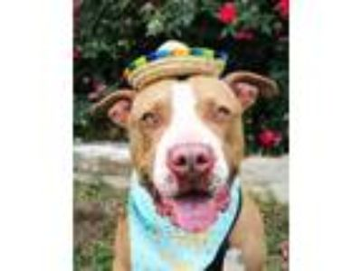 Adopt Reggie a Brown/Chocolate American Staffordshire Terrier / Mixed dog in San