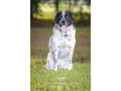 Adopt Hooch a Black - with White Australian Cattle Dog / Pointer / Mixed dog in
