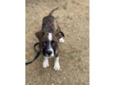 Adopt Homa a Plott Hound / Mixed Breed (Medium) / Mixed dog in Laingsburg