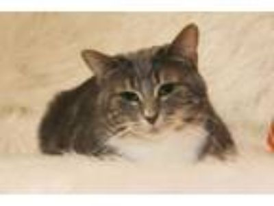 Adopt Lana a Domestic Short Hair