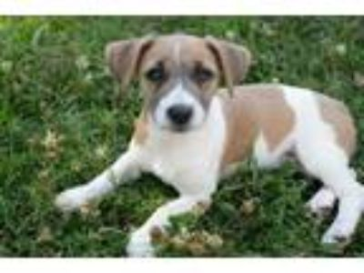 Adopt Mardi a White - with Brown or Chocolate Jack Russell Terrier / Dachshund /
