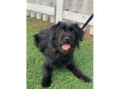 Adopt Moe a Black Cairn Terrier / Poodle (Miniature) / Mixed dog in Santa Ana
