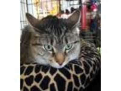Adopt Allison a Tiger Striped Domestic Shorthair (short coat) cat in Raritan