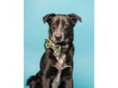 Adopt Keenan a Black German Shepherd Dog / Australian Cattle Dog / Mixed dog in