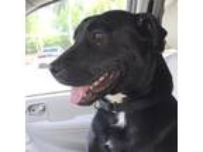 Adopt MAGGIE a Black Shepherd (Unknown Type) / Labrador Retriever / Mixed dog in