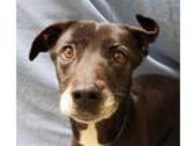 Adopt LAYLA a Black - with White Labrador Retriever / Mixed dog in Fairfield