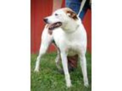 Adopt Braxton a White - with Tan, Yellow or Fawn Pointer / Mixed dog in Joplin