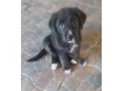 Adopt Alexsis a Black - with White Border Collie / Mixed dog in Thousand Oaks