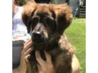 Adopt Sweet Pea a Plott Hound, Retriever