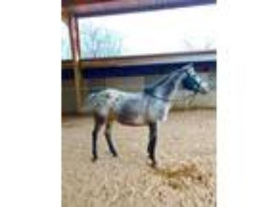 Adopt Cocomoe a Appy Appaloosa horse in Cumming, GA (20943971)