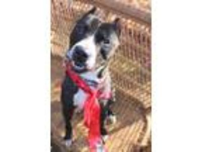 Adopt Brooklyn a Black American Pit Bull Terrier / Mixed dog in Pomona