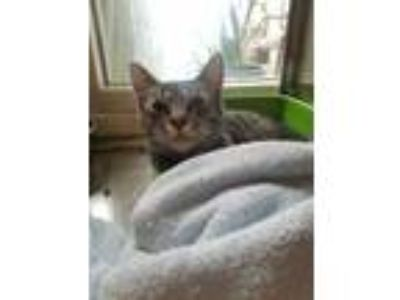 Adopt Dexter a Gray or Blue Domestic Shorthair / Domestic Shorthair / Mixed cat