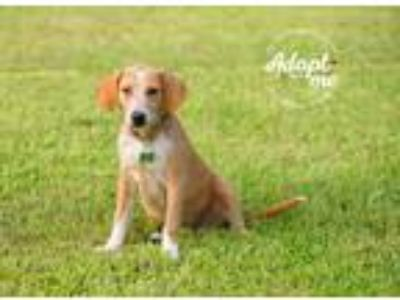 Adopt Ana a Brown/Chocolate - with White Basset Hound / Beagle / Mixed dog in
