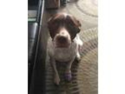 Adopt zzGanon a Brown/Chocolate American Pit Bull Terrier / Pointer / Mixed dog
