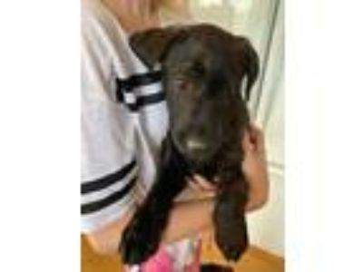 Adopt Lexi a Black Labrador Retriever / Boxer / Mixed dog in Heber City