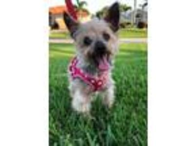 Adopt Tiny a Yorkshire Terrier