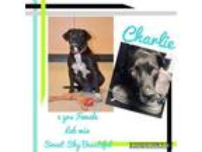 Adopt Charlie a Black Labrador Retriever / Mixed dog in Weatherford