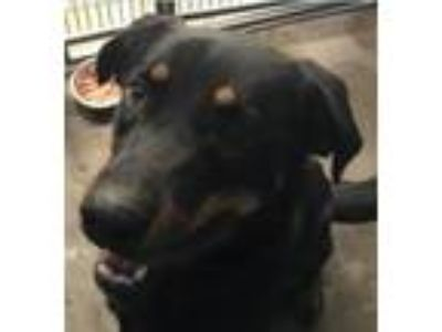 Adopt Indiana a Black - with Tan, Yellow or Fawn Rottweiler / Shepherd (Unknown
