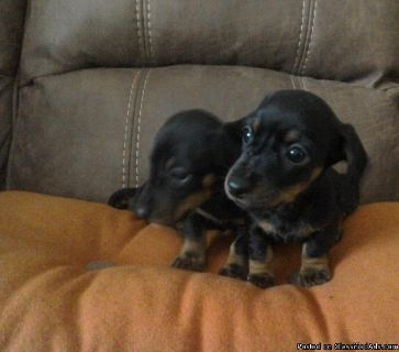 dfc Dachshund Puppies for sale