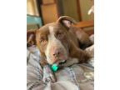 Adopt Trinity a Pointer / Pit Bull Terrier / Mixed dog in Laingsburg