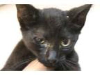 Adopt Jensen a All Black Domestic Shorthair / Domestic Shorthair / Mixed cat in